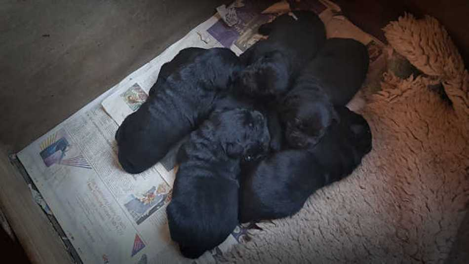 Still small, still very cute, our labrador puppies are getting noisier by the day.